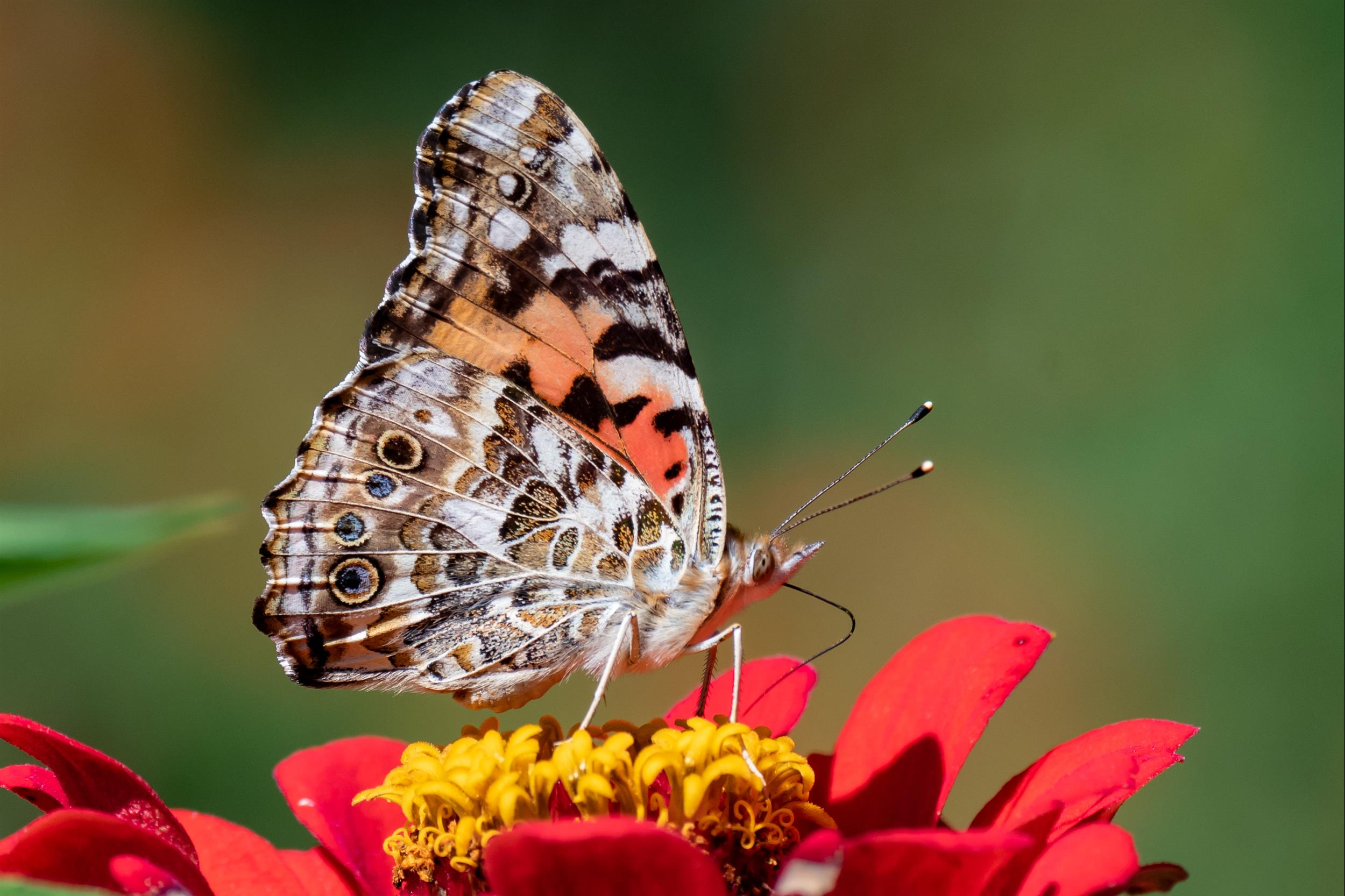 butterfly-on-red-flower.jpg
